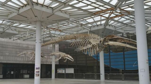 大阪市立自然史博物館 ナガスクジラ標本