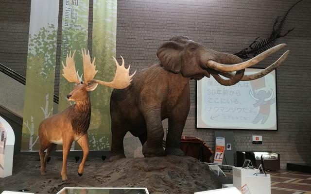 大阪市立自然史博物館 ナウマンゾウ